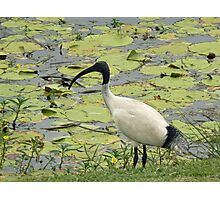 Ibis came to feed, Gold Coast Botanic Gardens Photographic Print