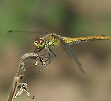 Dragonfly by Ulianka