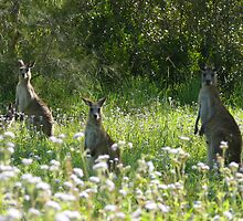 Wallabies, Coombabah Lakelands, Gold Coast by krista121