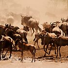Wildebeest at watering hole. by Amyn Nasser