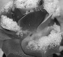 A Rose in Winter by suzannem73