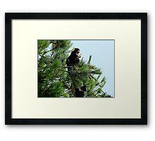 Black Cockatoo Eating a Pine Cone! Framed Print