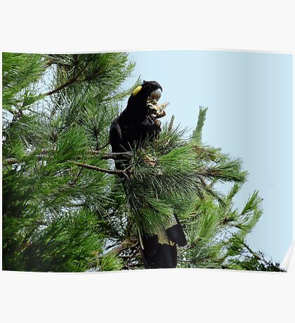 Black Cockatoo Eating a Pine Cone! Poster