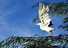 Black-crowned Night Heron ~ Stretch by Kimberly Chadwick