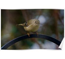 ~Ruby-Crowned Kinglet~ Poster