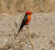 Vermilion Flycatcher ~ Male by Kimberly Chadwick