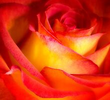 Delicate Rose by Hans Kawitzki