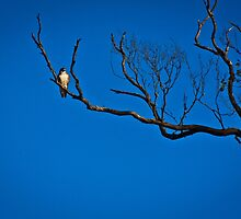 Brown Falcon at Roost by inthewild