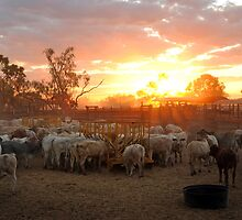 Cattle Yards North Queensland by Andrew Bodycoat