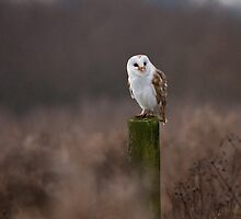 Resting Barn Owl by Robert  Geldard