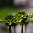 "Echinacea ""Green Jewel"" by Irina777"