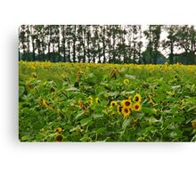 A field of Sunshine Canvas Print