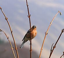 Chaffinch by Paul Bettison