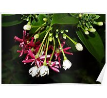 Flowers on a tropical vine Poster