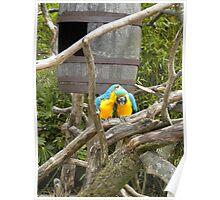 Love Bird Parrots in Wood Poster