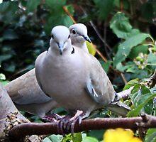 Collared Doves by AnnDixon