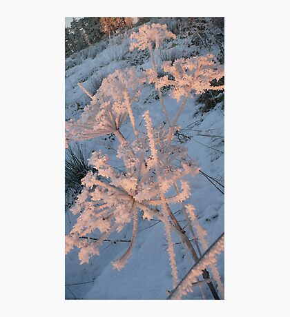 Haw Frost on Fennel, portrait. Photographic Print