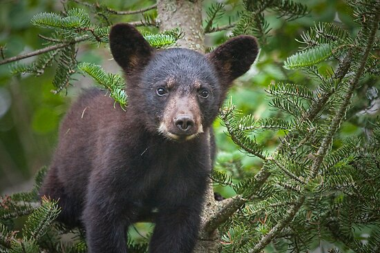 Black Bear Cub 349 by Randall Nyhof