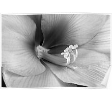 Amaryllis Flower Bloom in BW Poster