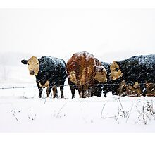 Cattle in Snowstorm 078 Photographic Print