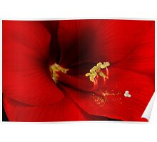 Orange Amaryllis Bloom Poster