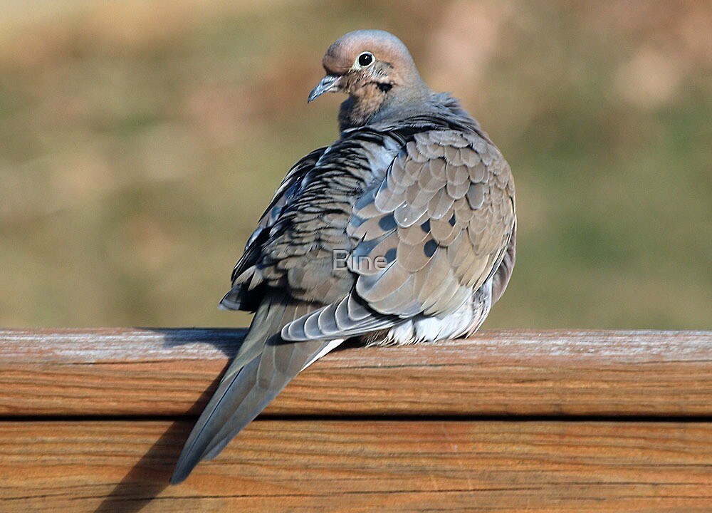 Mourning Dove by Bine