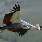 Crowned Crane in Flight 3 by Okavanga