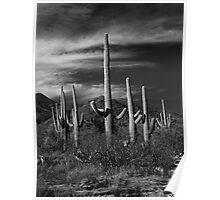 Saguaro Cactuus Poster