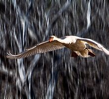 Swan in Flight by Randall Nyhof