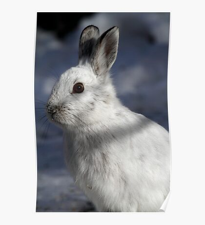 Hare Today / Snowshoe Hare Poster