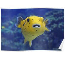 Beautiful Puffer Fish Poster