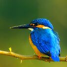 Little Kingfisher by santanu