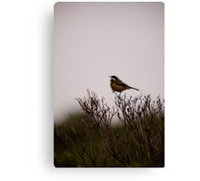 Eastern Spine Bill Canvas Print