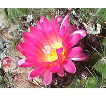Lovely but Lonely cactus flower Photographic Print
