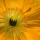 Yellow Poppy by Hans Kawitzki
