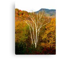 Striking Birch Canvas Print