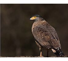 Crested Serpent Eagle Photographic Print