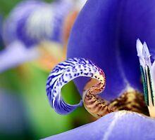 Iris Abstract by Ann  Palframan