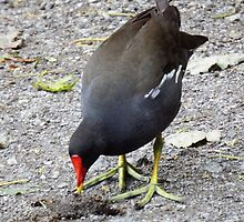 Moorhen pecking around by DEB VINCENT