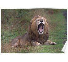 Lion Yawning Poster