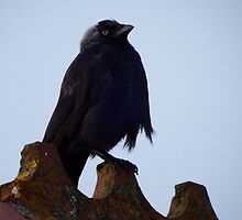 Young Jackdaw on the roof by Deb Vincent