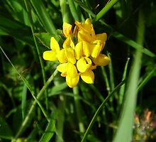 Yellow Vetch by DEB VINCENT