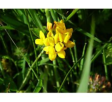 Yellow Vetch Photographic Print