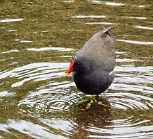 Moorhen going for a dip by Deb Vincent