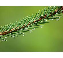 Evergreen Photographic Print