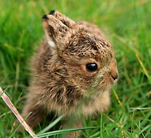 Leveret In The Grass by aidan  moran