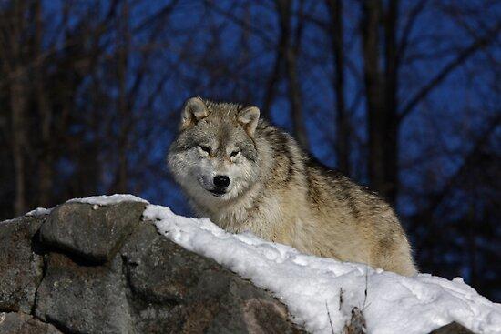 Arctic Wolf by Jim Cumming