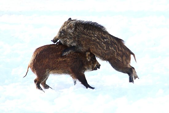 Wild Boars at play by Jim Cumming