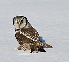 Hawk owl lands on fesh snow by jamesmcdonald