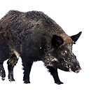 Wild Boar by Jim Cumming